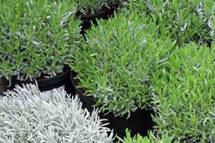 Lavender - hardy nursery stock