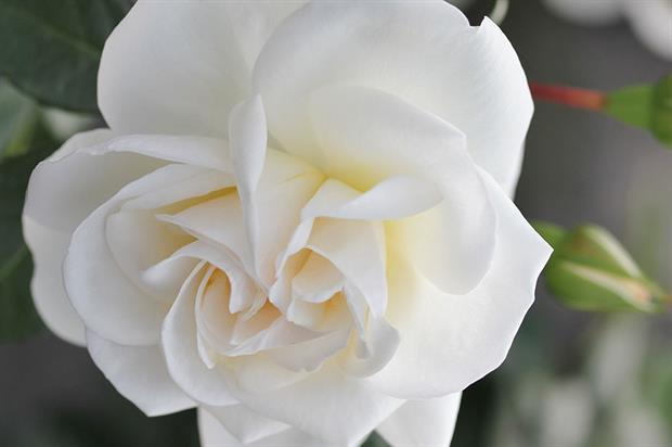 Tree Aid 'Little Angel' rose - image: Poulsen Roses