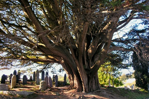 Ancient yew in churchyard, Church Island, Anglesey - image:Denis Egan