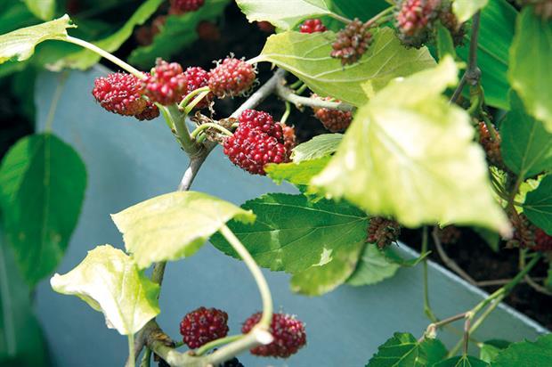 Morus 'Mojo Berry' - image: Suttons