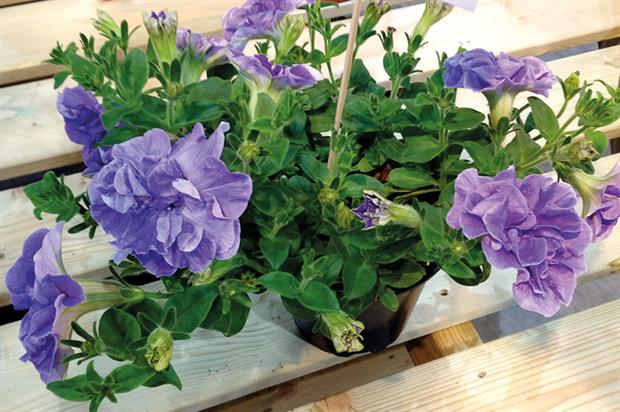 Best in Show/Best Herbaceous Perennial: Salvia Blue Marvel, Darby Nursery Stock