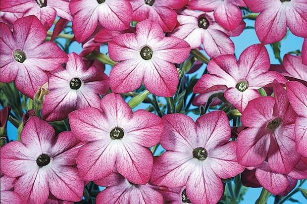 Nicotiana alata 'Domino Picotee' - image: Floramedia