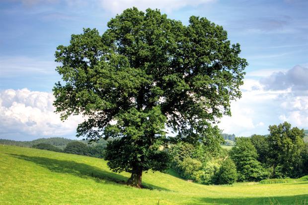 Oak: scheme could shift focus onto trees grown in UK - image: Pixabay