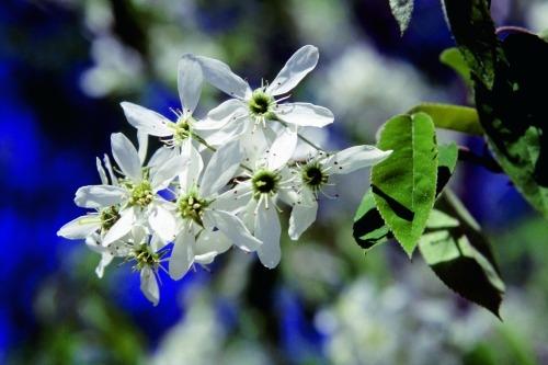 Amelanchier - Image: Floramedia