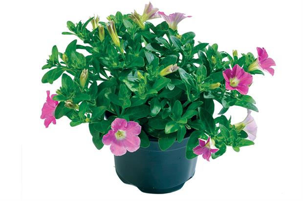 Petunia 'Splash' - image: Schneider Youngplants