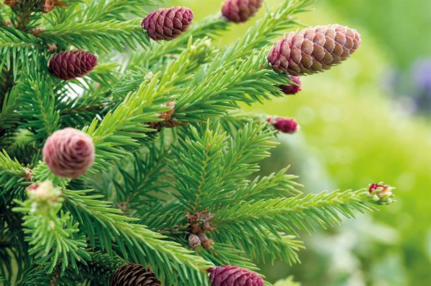 P. abies 'Pusch' - image: Floramedia