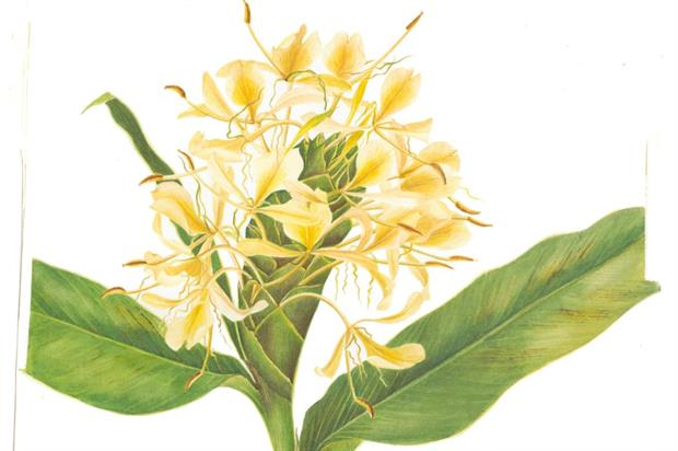 Hedychium flavescens by Nepalese artist Neera Joshi Pradhan.  Image: RBGE