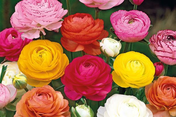 R. acris 'Flore Pleno' AGM - image: Floramedia