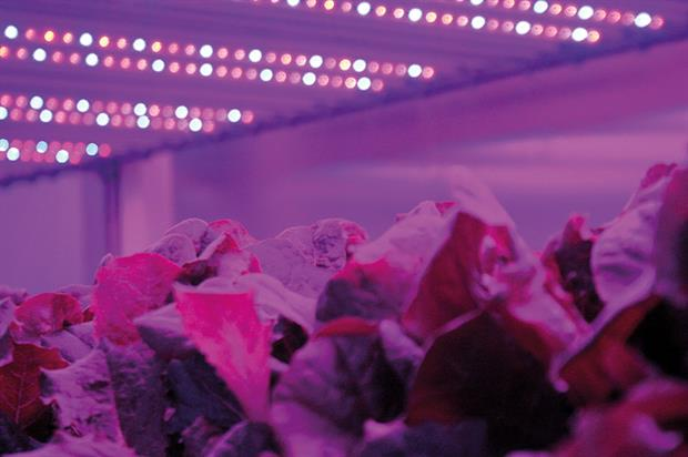 Lettuce: plants at Staay Food Group's new facility in the Netherlands will be grown hydroponically in coir underneath LEDs - image: HW