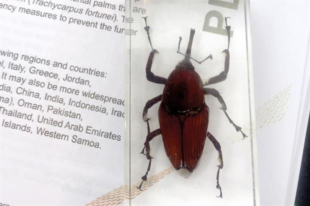Red palm weevil - image: APHA