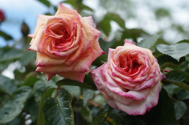 RHS Garden Rosemoor hosts celebrates roses with new festival. Image: Pixabay