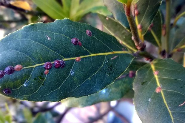 Bay leaves affected by scale insects - image: Dove Associates