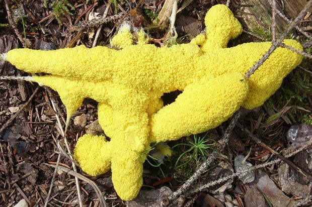 The 'dog vomit' slime mould (Fuligo septica) or flowers or tan are easy to spot