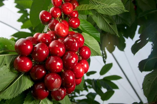 Sweetheart cherries - image: Eivind Kvamm-Lichtenfeld