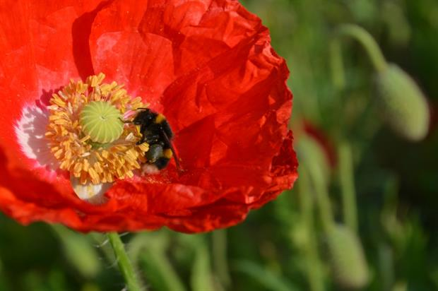 Wales is leading the way in tackling the pollinator decline. Image: Dr Tim Rich