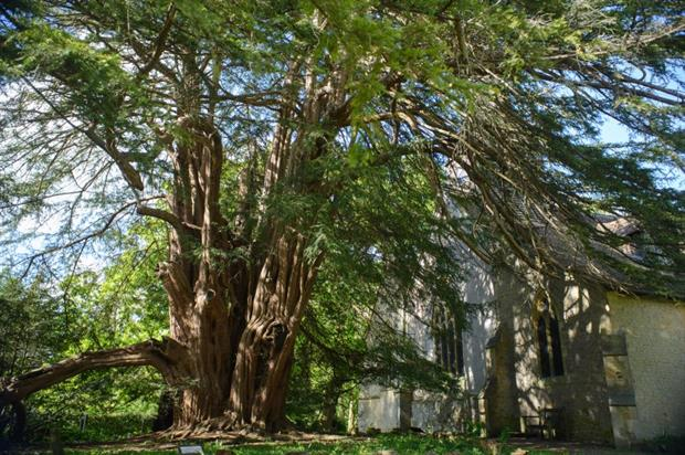 The Tandridge Yew, Surrey - image: Diana Patient
