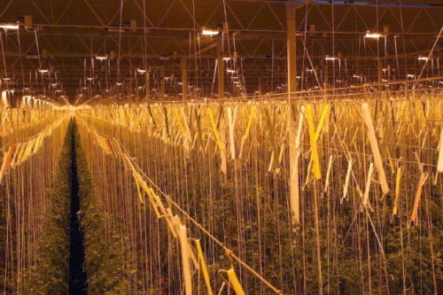 Night lighting in a Thanet earth tomato glasshouse - image:Thanet Earth