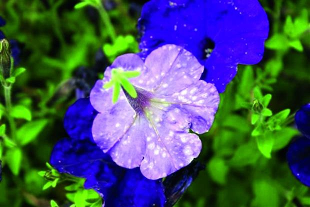 Thrips damage on petunia - Dove Associates