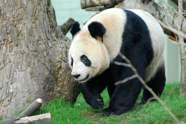 Tian Tian in the enclosure. Image: rzss.org.uk