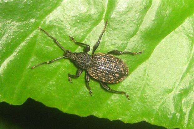 Vine weevil - image: Flickr/David Short