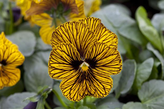 Viola Tiger Eye Yellow - Image: Floranova