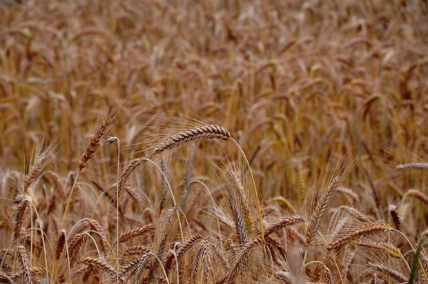 Wheat. Image: Pixabay