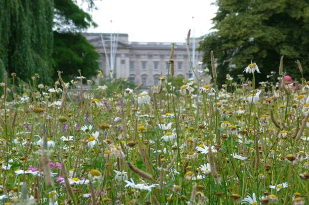 Meadow with a view: the wildflowers with Buckingham Palace in the background