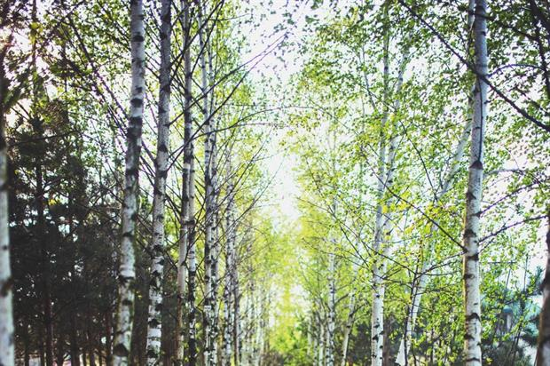 Young birch trees. Image: Pixabay
