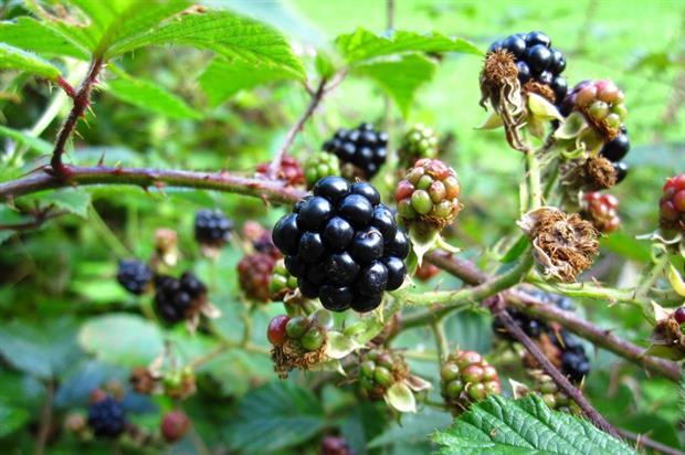 Blackberries. Image: Pixabay