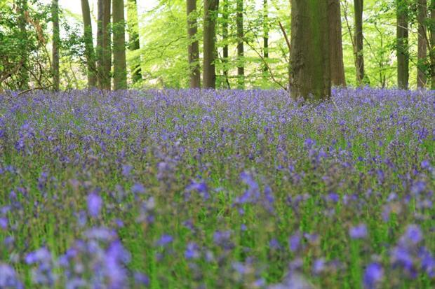 Bluebells in woodland. Image: Pixabay