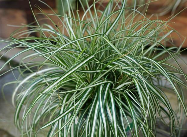 Carex oshimensis 'Everlite' (EverColor) by Fitzgerald Nurseries
