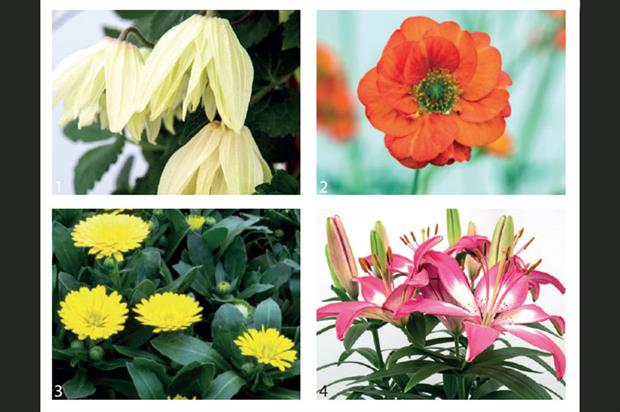 1.Clematis chiisanensis 'Amber' , 2.Geum 'Scarlet Tempest', 3.Calendula Power Daisy Sunny, 4. Pinetops' Lillium 'Perfect Joy' - images: HW