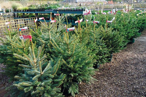 More UK-grown Christmas trees will be on the market this year