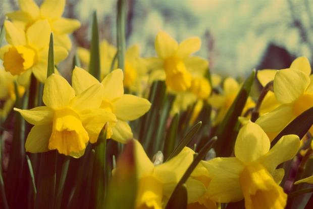 Dacorum is cracking down on daffodil theft. Image: Pixabay