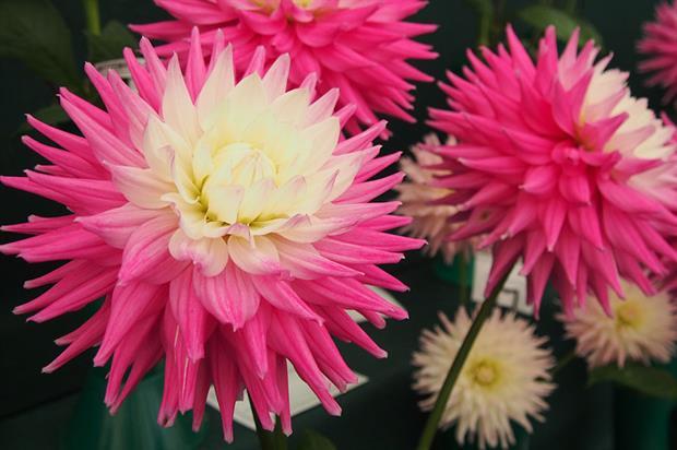 Dahlia at RHS Garden Wisley - image: Pixabay