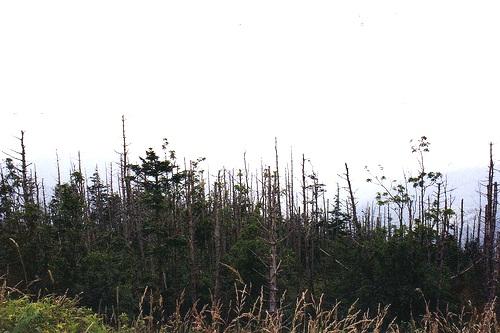 Diseased trees - image:Leonora Enking