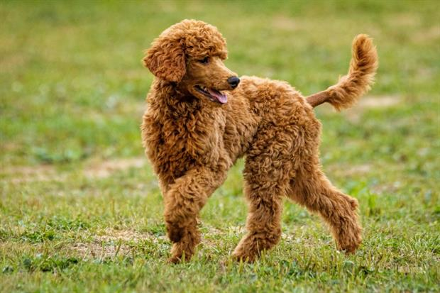 Dog DNA pinpoints fouling culprits. Image: Pixabay