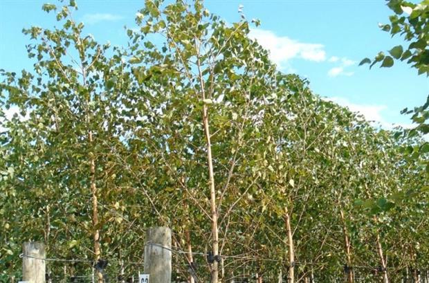 Betula pendula 'Select'