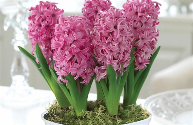 Hyacinth 'Pink Pearl'  - image: T&M