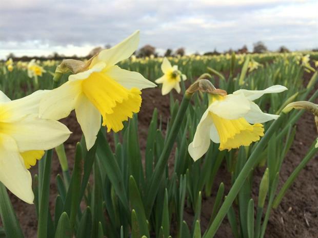 Taylors Bulbs Narcissus Spring Dawn 16th Dec 2015