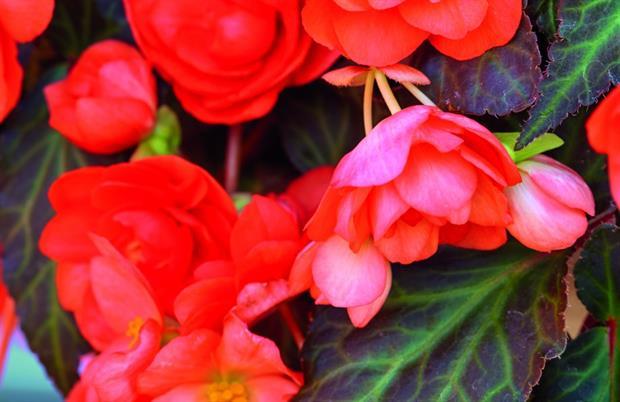 Begonia Miss Malibu