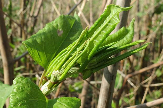 Japanese knotweed - image: Pixabay