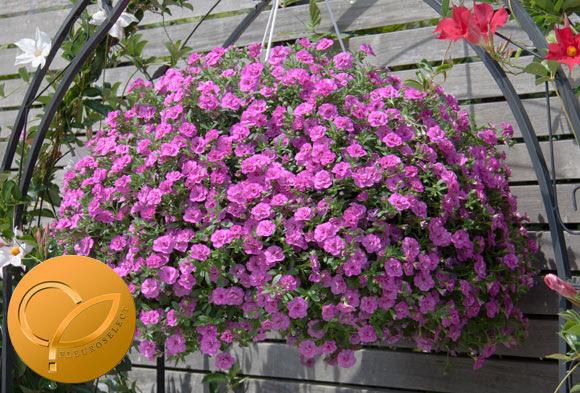 Calibrachoa cultivar MiniFamous® Double PinkMania! from Selecta One