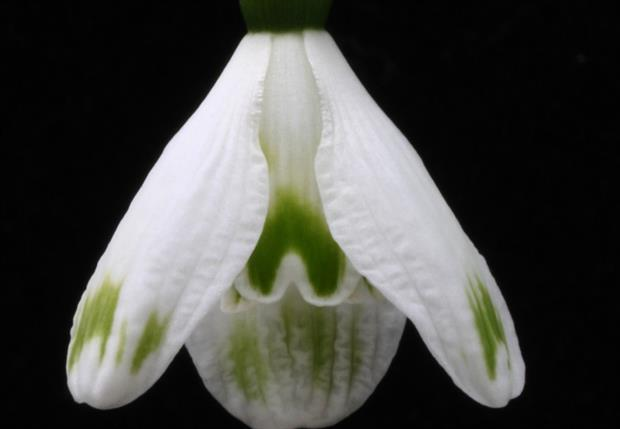 Galanthus Green Bottle