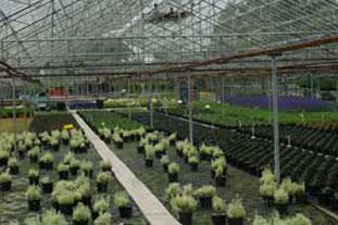 Glasshouse cultivation of protected ornamentals - photo: Gavin McEwan