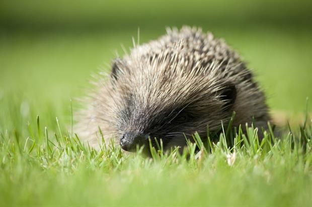 Hedgehog. Image: Pixabay