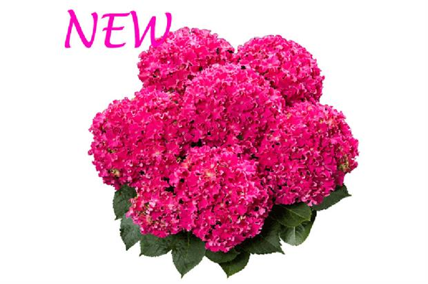 Hydrangea Curly Sparkle - image: HBA