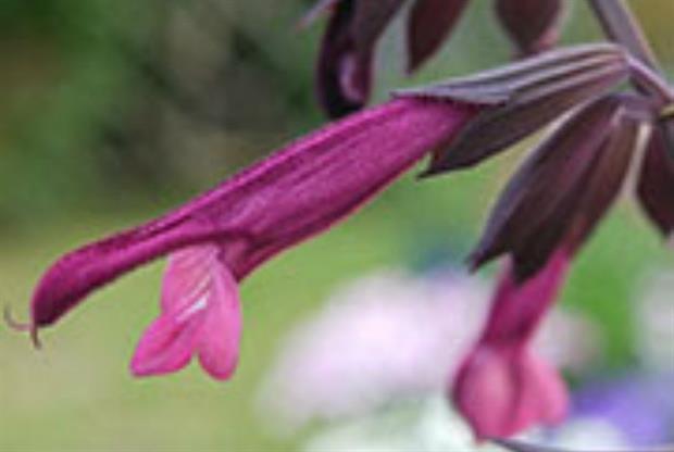 Salvia 'Love & Wishes'