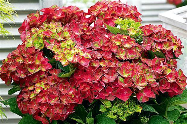 Hydrangea 'Ruby Tuesday'
