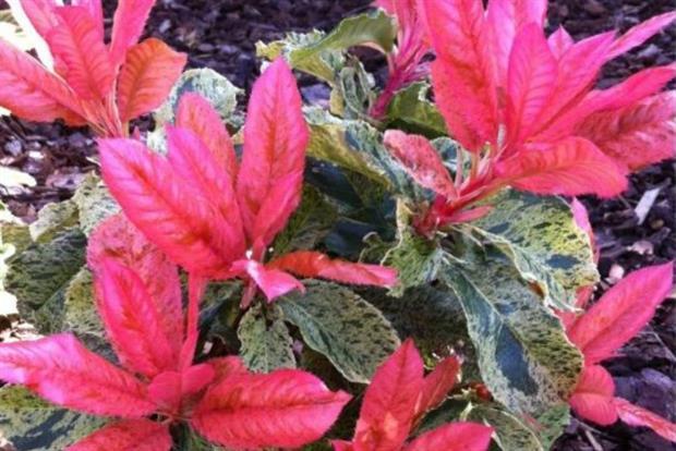 Photinia 'Pink Crispy' - image: Gardening Express